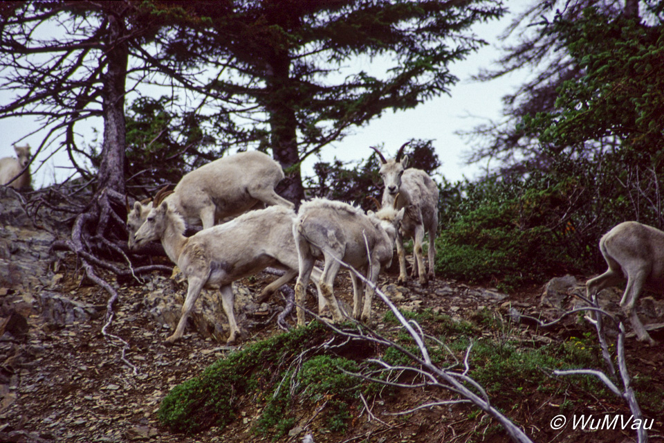 086-Canada-Alaska-Dall_Schafe