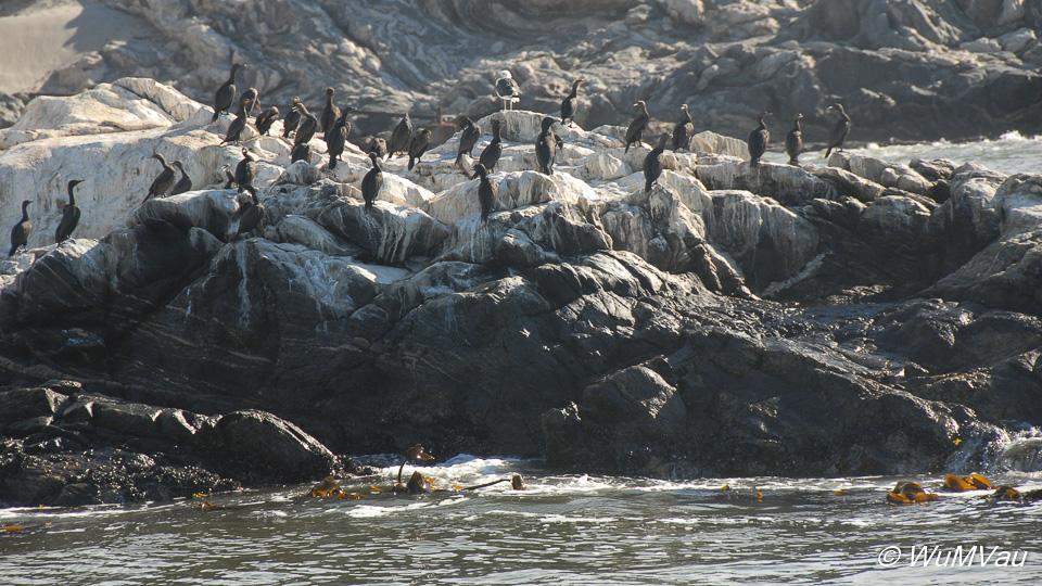 Pinguine auf der Halifax-Insel