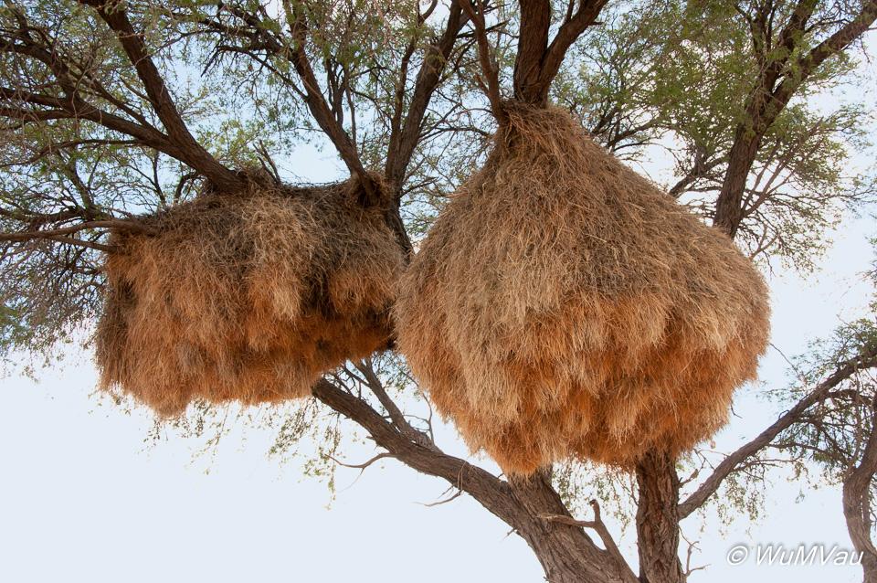Webervögel-Nester