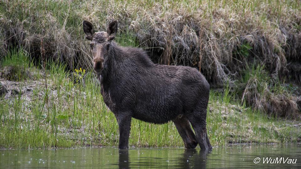 Moose (Elch)